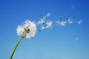 Pissenlit - Semer au vent