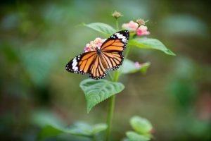 Papillon Monarque par Daniel Klein (unsplash.com)